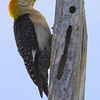 Title:  Woodpecker Contemplating the Point of Ceaselessly Beating his Head Against a Post <br /> <br /> Comments: You wonder if it occurs to them that there might be better ways to spend the day. <br /> <br /> Location: Brackettville