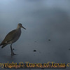 Title:   Will it Willet?<br /> <br /> Comments: Catoptrophorus semipalmatus <br /> <br /> Location: Bolivar Peninsula
