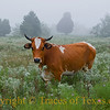 Title: Once upon a Morning Foggy, As I Wandered Soaked and Soggy, Came a low Mooing from the Field afore  <br /> <br /> Comments: What a life. No worries other than whether you're going to be able to eat the entire lush, giant salad bowl spread before you. <br /> <br /> Location: Giddings