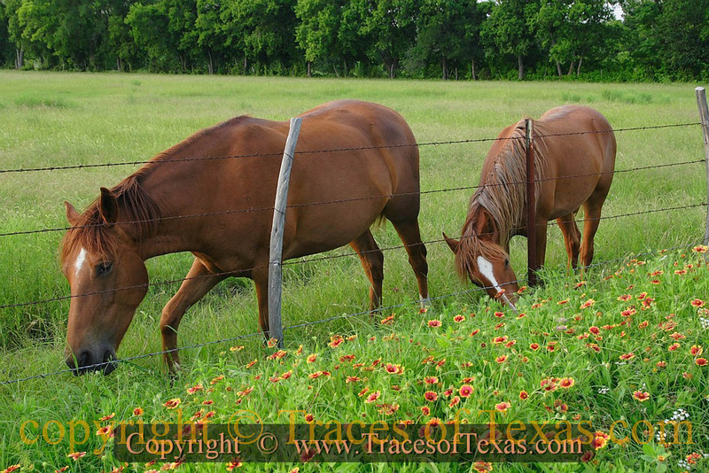Title:   The Flowers Are Always Taller On the Other SIde of the Fence.<br /> <br /> Comments:   It's true. It's an old maxim among horses. <br /> <br /> Location:  Jarrell