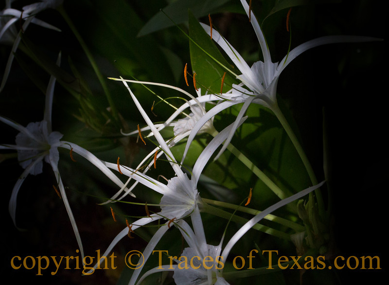 Title: Only the Lonely<br /> <br /> Comments: Spider Lilies are one of Texas' most beautiful native flowers. <br /> <br /> Location:  My garden