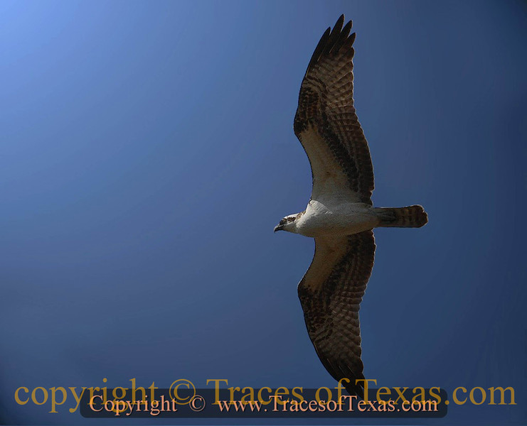 Title:   Take One Osprey and Call Me in the Morning <br /> <br /> Comments: <br /> <br /> Location: Rio Hondo
