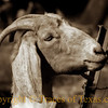 Title:   Future Cabrito<br /> <br /> Comments:  Sorry to say that this goat is future barbecue, but I wouldn't want to lead anybody astray. <br /> <br /> Location: Georgetown, Texas