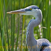 Title:  Splendor in the Grass<br /> <br /> Comments: This great blue heron was downright friendly.<br /> <br /> Location: Port Aransas