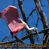 Title:   Slip Sliding Away<br /> <br /> Comments: Roseate Spoonbill (Platalea ajaja) out for a leisurely stroll. <br /> <br /> Location: High Island