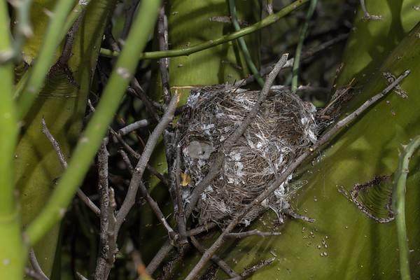 nest black-tailed gnatcatcher, Polioptila melanura (Polioptilidae) nest in palo verde tree. University of Arizona Desert Station Biological Preserve, Tucson, Pima Co., Arizona USA