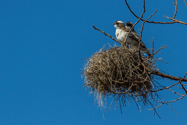 white-browed sparrow-weaver, Plocepasser mahali (Passeridae, Passeriformes). Khaudum N.P., Kavango Namibia