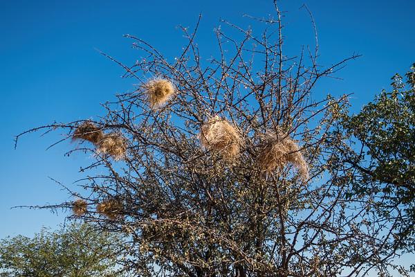 white-browed sparrow-weaver, Plocepasser mahali (Passeridae, Passeriformes). Erongo Namibia