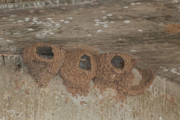 American cliff swallow nests under a bridge. Petrochelidon pyrrhonota (Passeriformes, Hirundinidae). Charleston Road Bridge over the San Pedro River, Cochise Co., Arizona USA