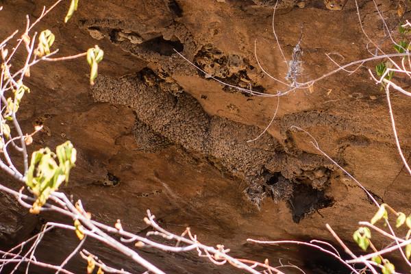 mud nest of lesser striped swallow, Hirundo abyssinica (Hirundinidae, Passeriformes). Epupa, Kunene Namibia