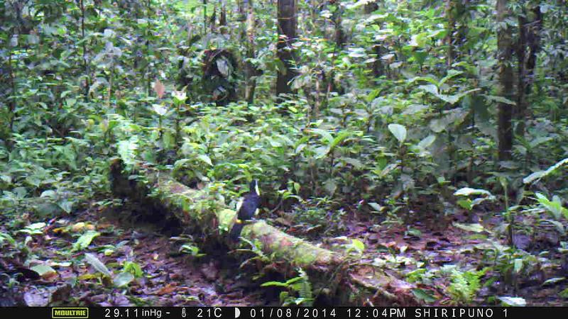 white-throated toucan, Ramphastos toucan (Ramphastidae), investigating a wiffle ball scented with Calvin Klein Obsession. Shiripuno, Orellana Ecuador