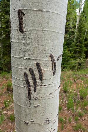 Black Bear, Ursus americanus (Ursidae) claw marks on Aspen. Horse Hollow, East Fork Creek of Sevier River, Dixie National Forest, Kane County, Utah USA