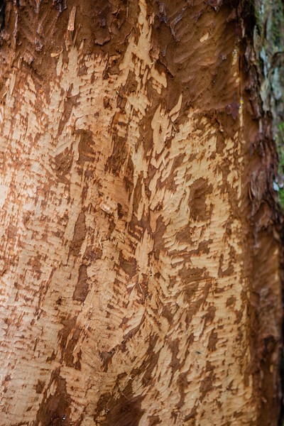 Lunch. Beaver teeth marks on tree, North American beaver, Castor canadensis (Castoridae). Chatham Straight, Chichagof Island, Freshwater Bay, Pavlof Harbor, Alaska USA
