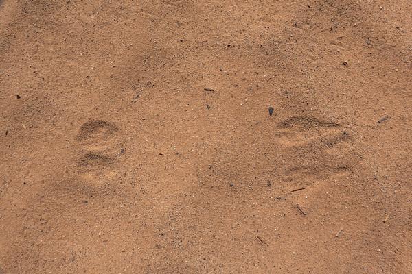 Kangaroo rat,  Dipodomys sp., track., Grand Staircase National Monument, Kane County, Utah USA