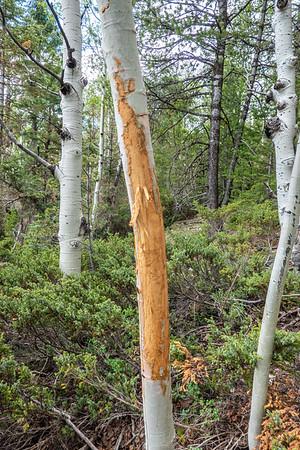 Elk tree rub. Horse Hollow, East Fork Creek of Sevier River, Dixie National Forest, Kane County, Utah USA