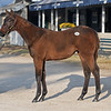 HIp 4089 by Optimizer from Switching Gears on Nov. 16, 2019 Keeneland in Lexington, KY.