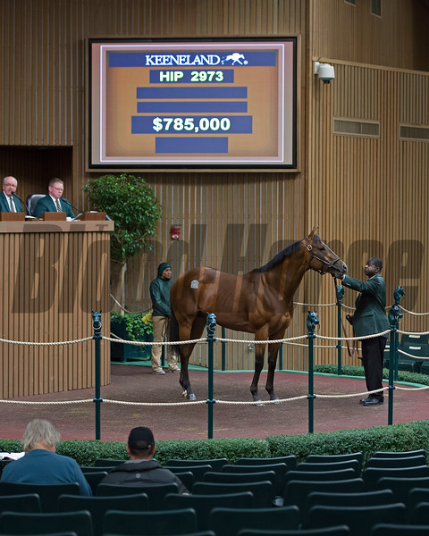 Hip 2973 from Lane's End Conquest Stables dispersal brings $785,000 from Zac (sp?) Madden<br /> Keeneland November Sales on Nov. 15, 2016, in Lexington, Ky.