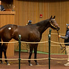 Hip 778 Please Flatter Me from ELiTE<br /> Sales horses at the Keeneland November Sale at Keeneland in Lexington, Ky. on November 11, 2020.
