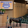 Hip 1035 Elle's Town from Bluewater<br /> Keeneland January Horses of all ages sales on<br /> Jan. 15, 2020 Keeneland in Lexington, KY.