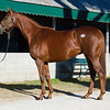 Hip 2104 Humint i/f to Shanghai Bobby from James B. Keogh, Grovendale.<br /> Keeneland November Sales on Nov. 13, 2016, in Lexington, Ky.