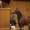 Hip 216 Concrete Rose from Lane's End<br /> Sales horses at the Keeneland November Sale at Keeneland in Lexington, Ky. on November 9, 2020.