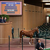 Hip 908 colt by Constitution from Tis Willy at Taylor Made<br /> Keeneland January Horses of all ages sales on<br /> Jan. 15, 2020 Keeneland in Lexington, KY.