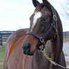 Rebridled Dreams, SWP of Carpe Diem, is the foundation mare at Woodline farm, and Beau Lane Bloodstock in Paris, Kentucky on Nov. 21, 2016, in Lexington, Ky.