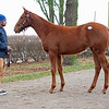 Hip 1485 colt by American Freedom from Looking Great at Stuart Morris, agent for Morgan's Ford Farm<br /> Keeneland January Horses of all ages sales on<br /> Jan. 15, 2020 Keeneland in Lexington, KY.