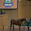 Hip 590 Sea Island from Claiborne brings $480,000 from Elliott Walden with WinStar<br /> Keeneland November Sales on Nov. 10, 2016, in Lexington, Ky.