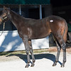 Hip 1838 filly by Uncle Mo from Savviest from James B. Keogh, Grovendale<br /> Keeneland November Sales on Nov. 13, 2016, in Lexington, Ky.