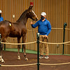 Hip 818 colt by Into Mischief out of Slewfoundmoney from Paramount<br /> Sales horses at the Keeneland November Sale at Keeneland in Lexington, Ky. on November 11, 2020.