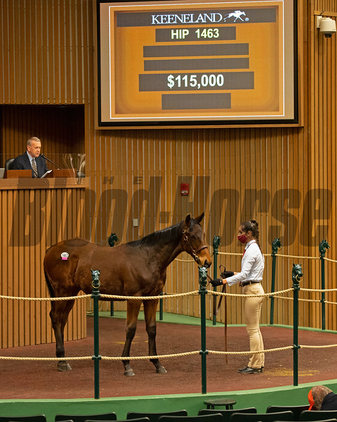 Hip 1463 colt by West Coast out of  Lady Bellamy<br /> Sales horses at the Keeneland November Sale at Keeneland in Lexington, Ky. on November 13, 2020.