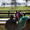 Tiz the Law out for a graze looks up at the starting gate at Keeneland Race Course Tuesday Nov. 3 2020 in Lexington, KY.  Photo by Skip Dickstein