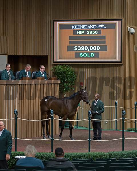Hip 2950 Conquest Smartee from Lane's End brings $390,000 from David Ingordo<br /> Keeneland November Sales on Nov. 15, 2016, in Lexington, Ky.