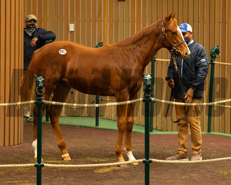 Hip 987 colt by Justify out of Emily B from Stuart Morris<br /> Sales horses at the Keeneland November Sale at Keeneland in Lexington, Ky. on November 11, 2020.