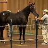 Hip 1903 colt by First Samurai out of Pinkie Pact from Stone Farm<br /> at Keeneland September sale yearlings in Lexington, KY on September 19, 2020.