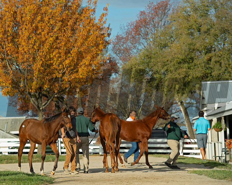weanling scene<br /> Sales horses at the Keeneland November Sale at Keeneland in Lexington, Ky. on November 10, 2020.