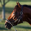 Leinster shows off his beautiful head this morning  at Keeneland Race Course Tuesday Nov. 3 2020 in Lexington, KY.  Photo by Skip Dickstein