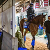 Classier prepares to head to the track at Keeneland Race Course Wednesday Nov. 4 2020 in Lexington, KY.  Photo by Skip Dickstein