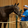 Hip 654 colt by Uncle Mo out of Kauai Katie from Denali<br /> at Keeneland September sale yearlings in Lexington, KY on September 16, 2020.