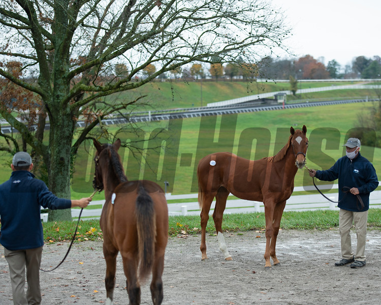 Scene at Bluewater with Hip 1002, a filly by Frosted out of Flin Flon<br /> Sales horses at the Keeneland November Sale at Keeneland in Lexington, Ky. on November 10, 2020.