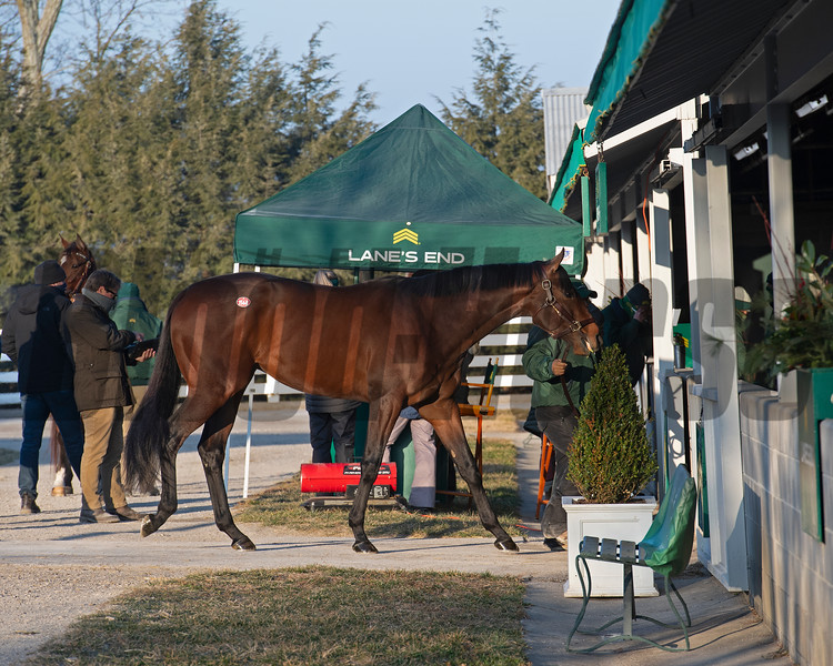 Scene at Lane's End as Hip 1568 Country Grammer walks into the barn. <br /> Keeneland January Sales at Keeneland near Lexington, Ky., on Jan. 13, 2021.