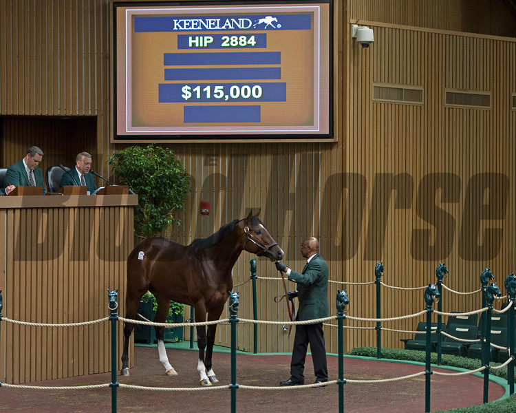 Hip 2884 Conquest Typhoon sells for $115,000 to Mark Casse. <br /> Keeneland November Sales on Nov. 15, 2016, in Lexington, Ky.