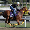 Caption:  Indian Jones<br /> Breeders' Cup horses and connections at Santa Anita near Acadia, California, preparing for Breeders' Cup raceways on Nov. 1 and Nov. 2, 2013.<br /> BCWorks1Jpegs_10_29_13 image617<br /> Photo by Anne M. Eberhardt