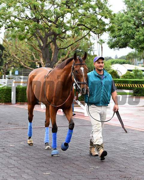 Masochistic Schooling at Santa Anita.<br /> Works at Santa Anita in preparation for 2016 Breeders' Cup on Oct. 30, 2016, in Arcadia, CA.