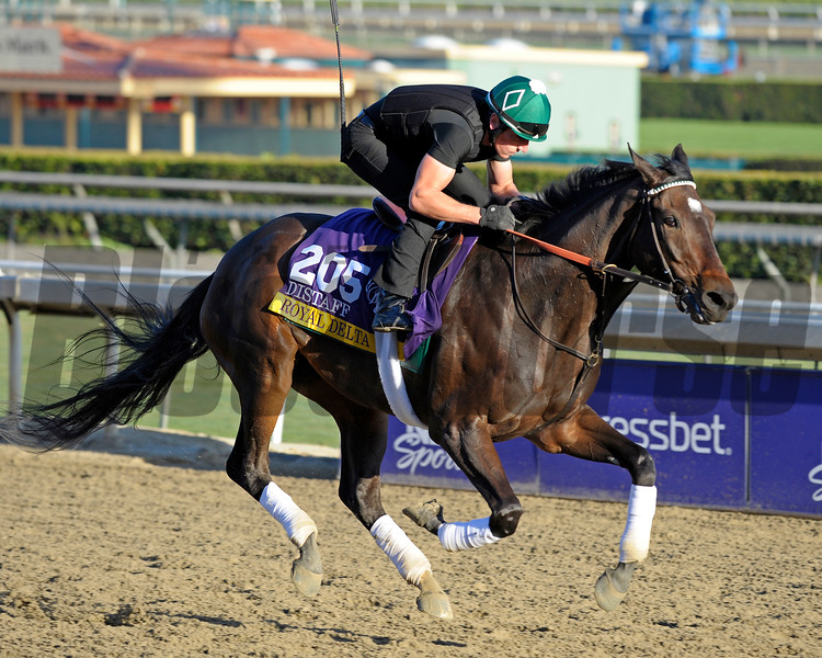 Caption:  Royal Delta<br /> Breeders' Cup horses and connections at Santa Anita near Acadia, California, preparing for Breeders' Cup raceways on Nov. 1 and Nov. 2, 2013.<br /> BCWorks1Jpegs_10_30_13 image334<br /> Photo by Anne M. Eberhardt