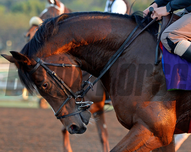 Caption:  Toronado<br /> Scenes at Santa Anita  on Oct. 27, 2014, in preparation for Breeders' Cup  in California.<br /> 1Origs10_28_14 image162<br /> Photo by Anne M. Eberhardt