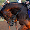 Caption:  Toronado<br /> Scenes at Santa Anita  on Oct. 27, 2014, in preparation for Breeders' Cup  in California.<br /> 1Origs10_28_14 image162<br /> Photo by Anne M. Eberhardt