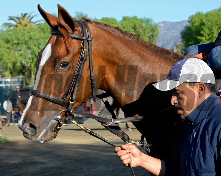 Caption:  Partisan Politics<br /> Scenes at Santa Anita  on Oct. 29, 2014, in preparation for Breeders' Cup  in California.<br /> 1Origs10_29_14 image860<br /> Photo by Anne M. Eberhardt