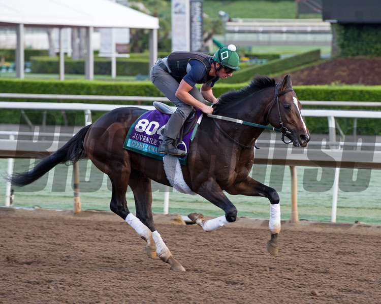 Good Samaritan<br /> Works at Santa Anita in preparation for 2016 Breeders' Cup on Oct. 29 2016, in Arcadia, CA.
